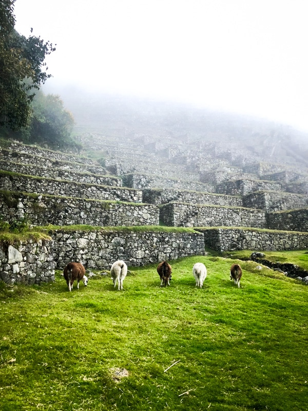 Five llamas grazing along steep ancient Incan ruins
