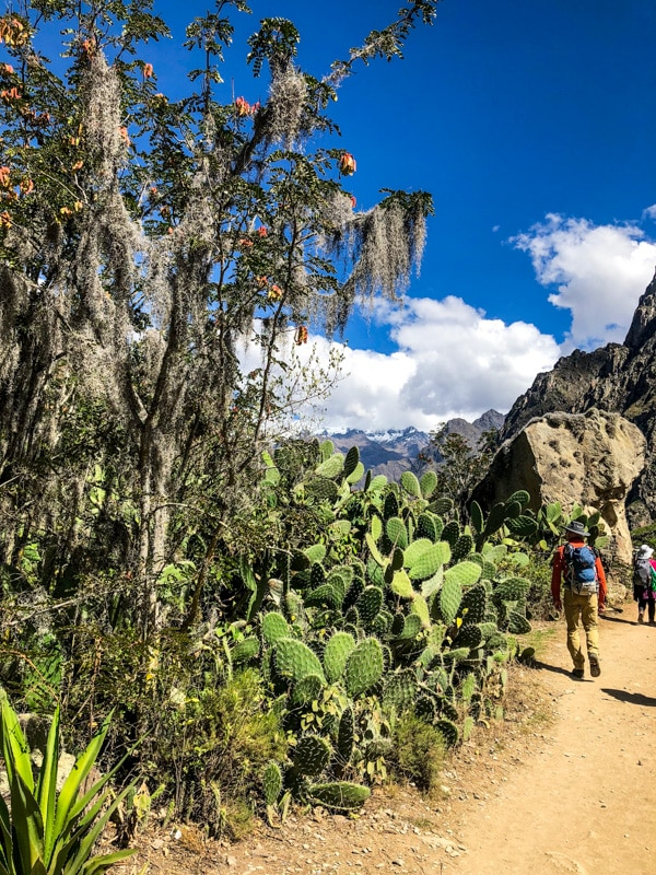 Walking along the Inca Trail next to huge cacti.