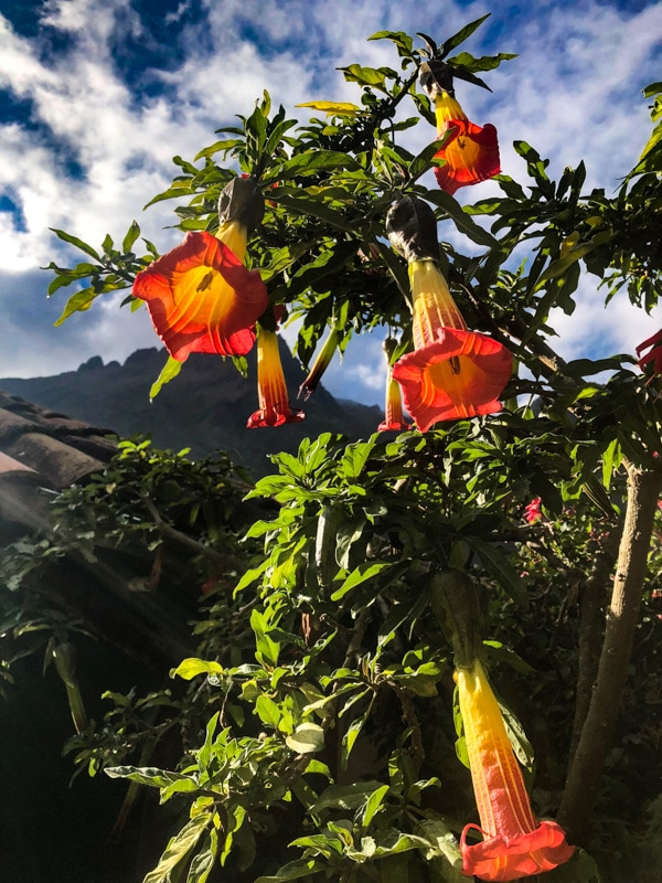 Beautiful red and yellow trumpet-like flowers along the Inca Trail.